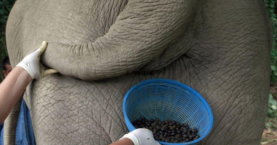 Black Ivory – один из самых дорогих сортов кофе на сегодняшний день, и делают его из эксрементов слонов