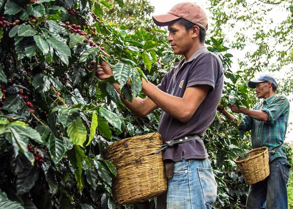 Кофе арабика 100% Гондурас Сан Маркос
