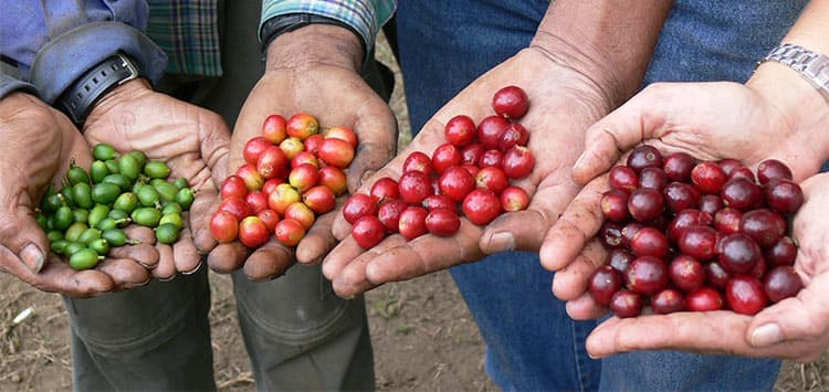 Кофе – это ягоды, которые бывают красного, желтого и зеленого цвета