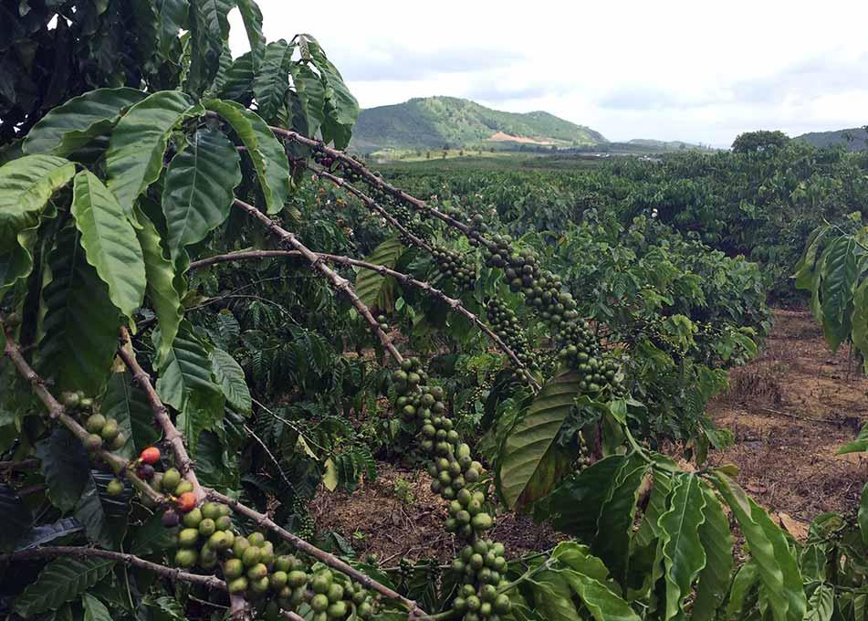 Кофе арабика 100% Вьетнам Далат